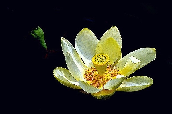 Photograph of an American lotus flower.