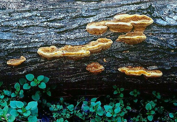 Photograph of bracket fungi on a fallen log.
