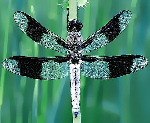 Photograph of a dragonfly.