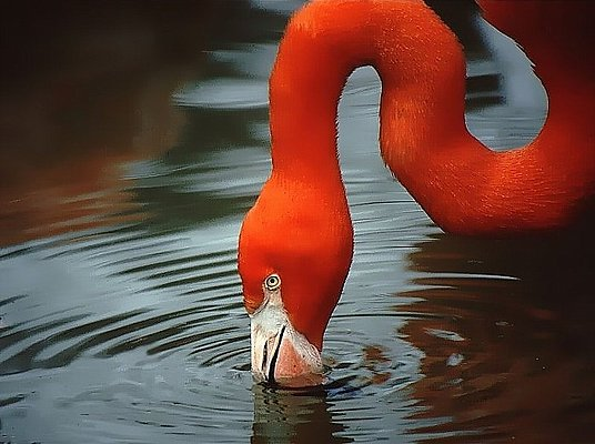 Photograph of a feeding flamingo - Fort Worth Zoo.