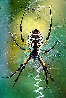 Photograph of a garden spider.