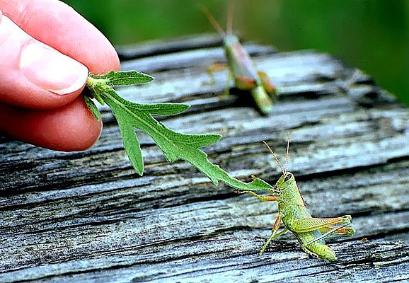 Photograph of a grasshopper being hand-fed.