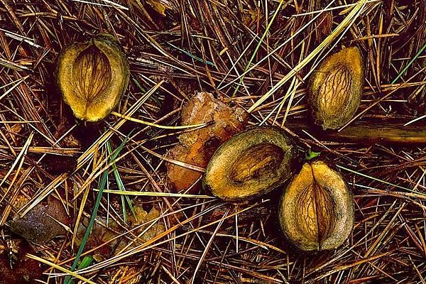 Picture of Hickory nuts.