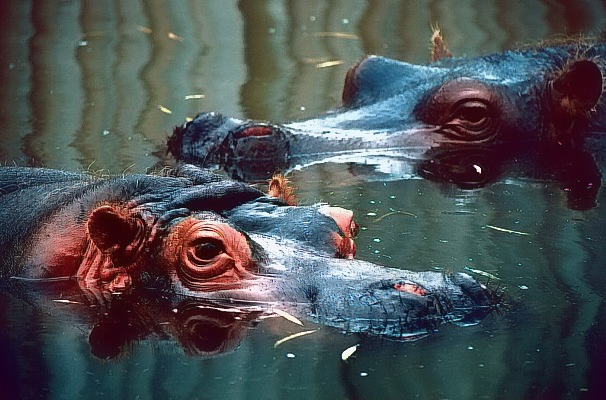 Picture of hippos wallowing in water.
