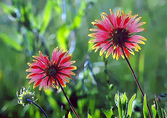 Picture of an Indian blanket flowers - Tandy Hills, Texas