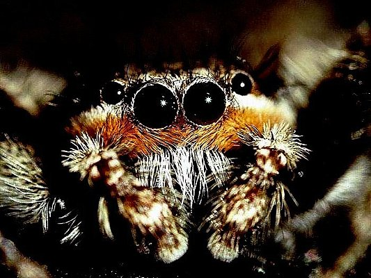 Picture of jumping spider eyes.