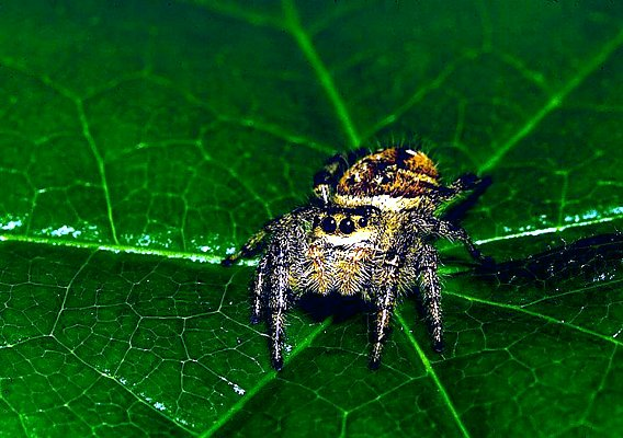 Picture of a jumping spider.