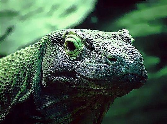 Picture of a komodo dragon.