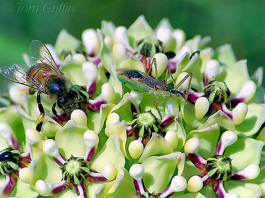 Picture of insects on a milkweed flower.