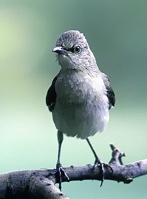 Picture of a northern mockingbird.