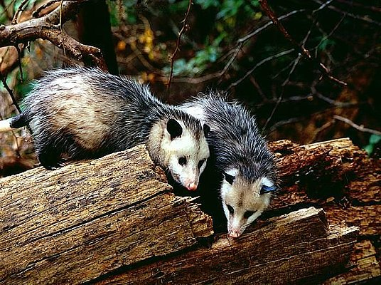Picture of a pair of Virginia opossums.