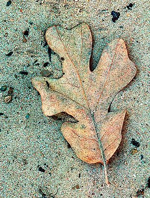 Picture of a post oak leaf.