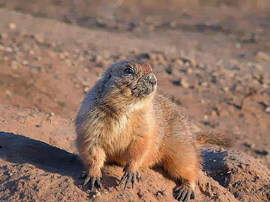 Photograph of an alert prairie dog.