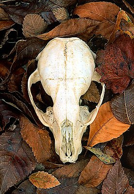 Picture of a raccoon skull.