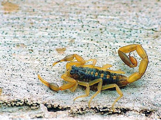 Picture of a scorpion.