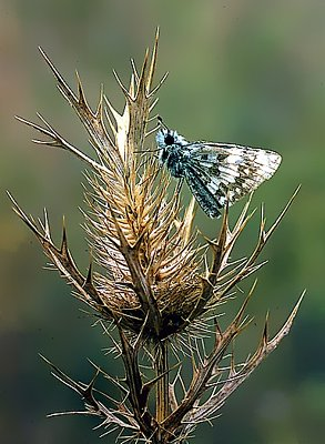 Picture of a skipper butterfly on an eryngo flower.