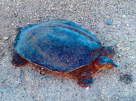 Picture of a soft shelled turtle.