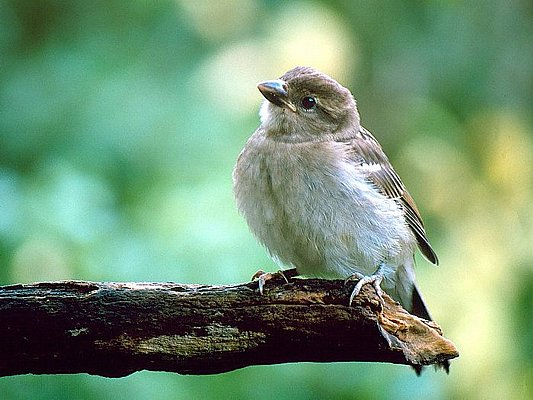 Picture of a sparrow.