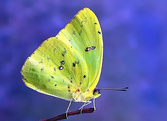 Picture of a sulphur butterfly.