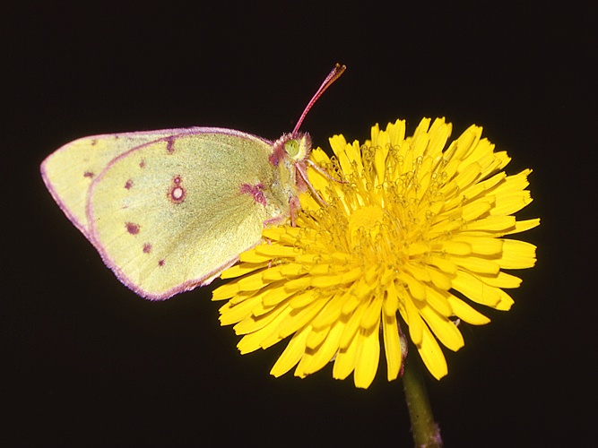 Picture of a sulphur butterfly on a dandelion flower.