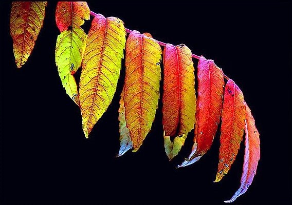 Picture of colorful sumac leaves in autumn. Fort Worth Nature Center.