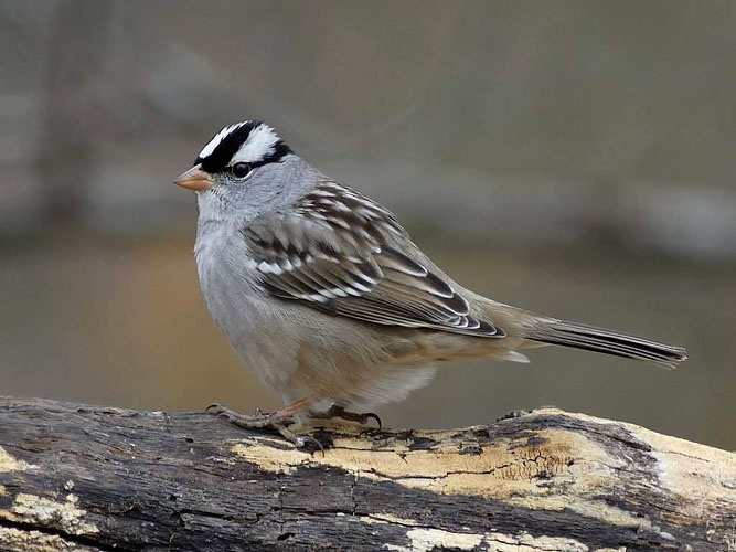 photograph of white crowned sparrow
